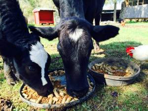 Rowdy girl (momma) and Houdini baby calf
